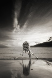 Artistic, black and white, vintage photo of wild, alone South African giraffe, Giraffa giraffa, drinking from waterhole against dramatic background. Wildlife photography in Etosha pan, Namibia.