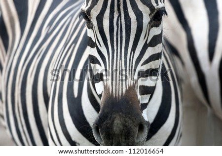 Artistic closeup portrait of a zebra - emphasized graphical pattern.