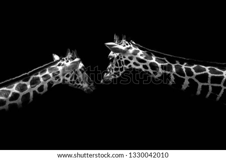 Artistic Monochromatic Image of two giraffes #1330042010