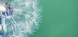 Artistic nature closeup, abstract dandelion macro, sunny soft blue green blurred background. Banner nature with beautiful light. Idyllic and relaxing floral. Springtime dandelion with soft sunlight