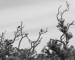 Artistic nature landscape of an osprey and a great blue heron on tree top branches of dead trees above a Florida wetland swamp in black and white.