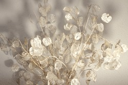 Artistic photographs of the lunaria plant, silver plant, ornamental plant, bouquet view from below to accentuate the shadow of the leaves,