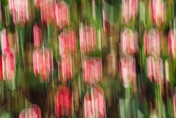 Artsy motion blurred pink tulips