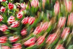 Artsy swirl motion blurred pink tulips