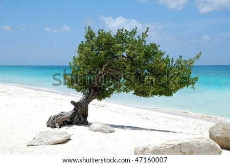 Aruba tree 2