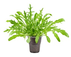 Arugula grows in pot, isolated on white background, clipping path, full depth of field