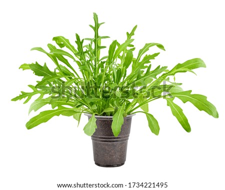 Arugula grows in pot, isolated on white background, clipping path, full depth of field Foto stock ©