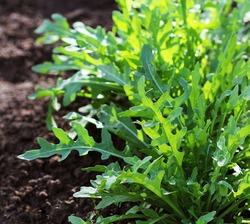 Arugula plant growing in organic vegetable garden.