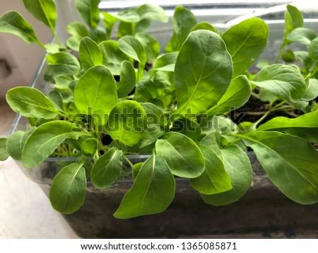 Arugula seedlings on the windowsill, arugula on the windowsill, garden on the windowsill