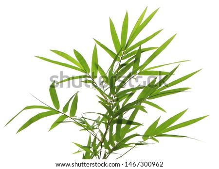Arundinaria suberecta Munro, Bambusa arundinacea Willd, Gigantochloa albociliata Munro, Green leaves on twigs of Bamboo tree isolated on white background. Zdjęcia stock ©