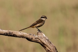 as a small size raptor, the Long-tailed shrike always brave and cautious
