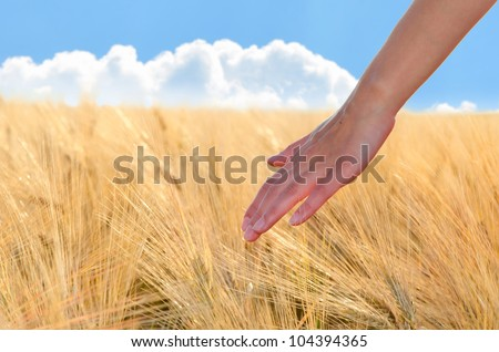 As a woman's hand gently on the ears of wheat field