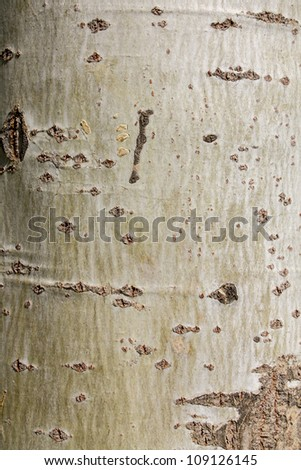 as birch tree in the background
