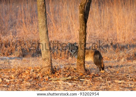 as it walks the prairie, an attentive coyote finds a tree to hid behind tree at sunrise.  soft oranges of sunrise accent the prairie background.