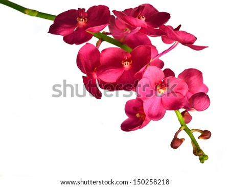 Ascda.Saint Valentine orchid. Isolated with a white background