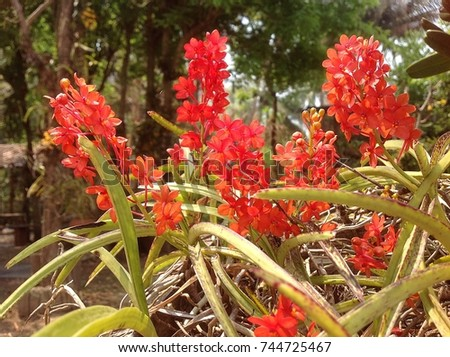 Ascocentrum curvifolium  , found in Thailand, Laos, on deciduous trees in deciduous dry lowland forests  ,that blooms in the summer forwer is red and densly many flowered inflorescence  #744725467