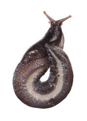Ash-black Slug (Limax cinereoniger) isolated on white background