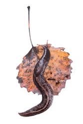 Ash-black Slug (Limax cinereoniger) on yellowed aspen leaf isolated on white background