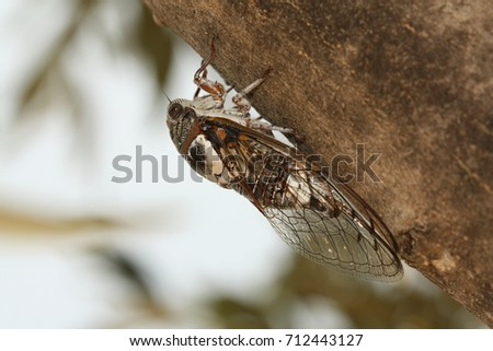 Ash cicada on a close up horizontal picture. A common insect species occurring in southern Europe, known for its voice. Very loudy song.