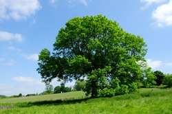 Ash (Fraxinus excelsior) in rural Derbyshire countryside in the UK.
