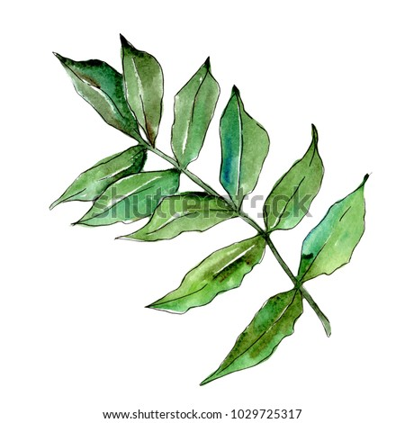 Ash leaves in a watercolor style isolated. Aquarelle leaf for background, texture, wrapper pattern, frame or border.