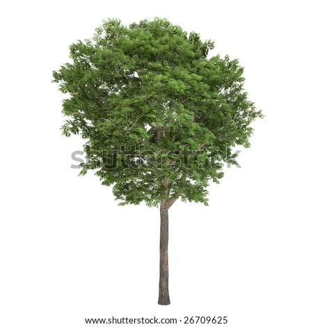 Ash tree isolated on white background
