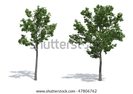 Ash trees isolated on white background