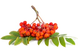 Ashberry cluster with red berry and green leaf in a hand isolated on white background