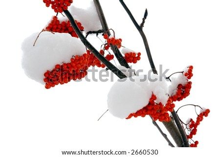 Ashberry on a snowy treebranch. On white background.