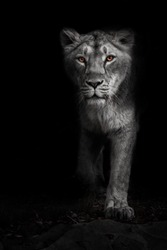 Ashen white, ashen moonlit night lioness in darkness with bright ebony eyes. Black-beast with colored eyes