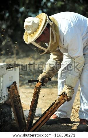 ASHKELON - SEPTEMBER 02: An Israeli beekeeper is collecting honey for Rosh Hashana on September 02 2010 in Kibbutz Yad Mordechai, Israel