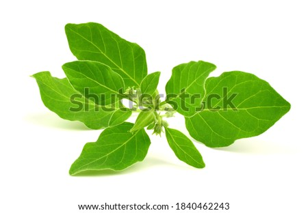 Ashwagandha Fresh Green Leaves on the Stem, Medicinal Herb Plant, also known as Withania Somnifera, Ashwagandha, Indian Ginseng, Poison Gooseberry, or Winter Cherry. Isolated on White Background.