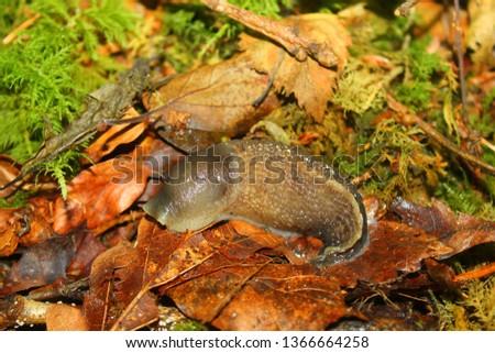 Ashy Grey Slug, Limax cinereoniger. Taken Luxulyan Valley, England.