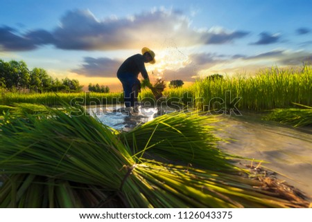 Asia agriculture.Farmer working in agriculture rice field at Asia countryside. #1126043375
