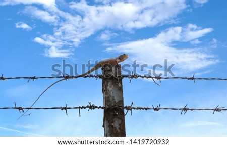 Asia chemeleon on concrete pole and barbed wire fence,Business and finance concept success from intention and determination. #1419720932