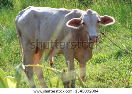 Asia cow. Close up portrait of cow at village. Cows standing on the ground. Traditional cow in asia, cow resting. #1545092084