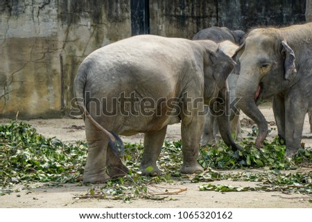 Stock Photo asia elephant in the zoo