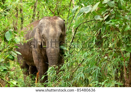 asia elephant in tropical forest, thailand