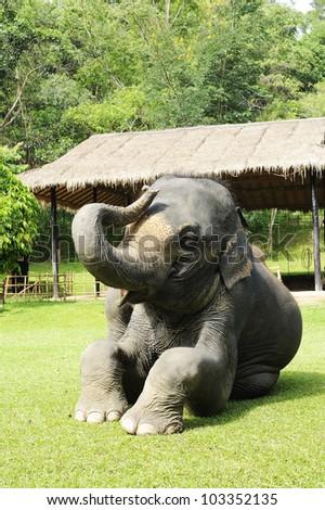 asia elephant -  thai elephant
