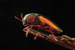 asia jewel beetle macro black background