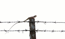 Asia lizard on concrete pole and barbed wire fence on white background,Business and finance concept success from intention and determination.