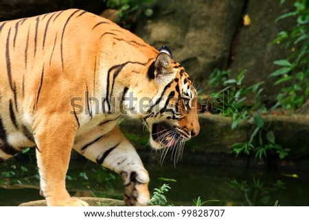 asia tiger walking foward alone