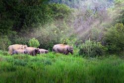 Asia wild elephant at Kui buri National Park, Prachuap Khiri Khan Province, Thailand.
