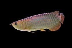 Asian arowana (Scleropages formosus) on isolated black background. Red-tailed golden dragon fish is freshwater fish found in northern Sumatra, Indonesia.
