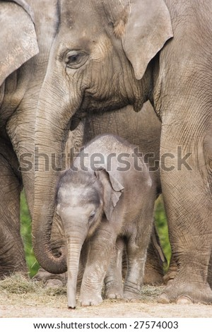 Asian baby elephant standing between the big legs of her family - stock photo