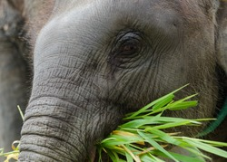 Asian baby elephant standing with her mother and eating grass.