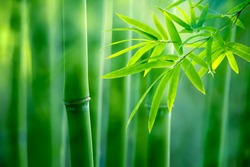 Asian Bamboo forest,natural background
