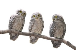 Asian Barred Owlet (Glaucidium cuculoides) is a species of true owl.