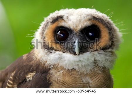 Asian Brown Wood Owl - stock photo