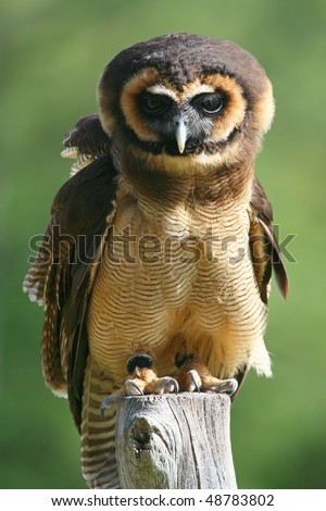 Asian Brown Wood Owl, on perch, with diffused light green background